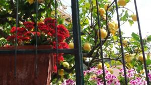 Liguryjskie cytryny