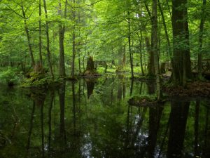 L'antica foresta di Białowieża in pericolo