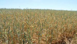 Polonia Oggi: 4 milioni di ettari danneggiati dalla siccità